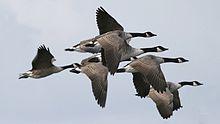 Canada Goose langford parka online official - The chukar partridge or chukar (Alectoris chukar) is a Eurasian ...