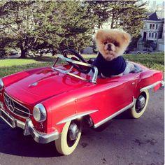 памеранский шпиц Бу /  one more time cute dog Boo)