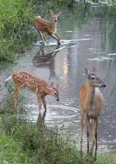 Deer are prevalent in Minnesota. Many people have lost their lives by car/deer collisions. Nature Animals, Animals And Pets, Baby Animals, Cute Animals, Beautiful Creatures, Animals Beautiful, Deer Family, Tier Fotos, Mundo Animal