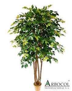 Arbusto Ficus 17212  $286200