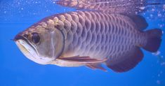 The Asian arowana is one of the world's most expensive aquatic creatures. Pet Fish, Hobby Farms, Creatures, Pets, World, Google Search, Wild Animals, Art Inspo, Asian
