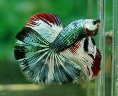 Fierce Beta Fish.