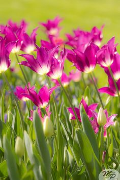 Tulips so pretty All Flowers, Amazing Flowers, Spring Flowers, Beautiful Flowers, Pink Garden, Daffodils, Garden Inspiration, Mother Nature, Planting Flowers