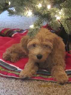 Daisy Doodle @ 3 mos old.  She left the first gift, under the tree :-O.