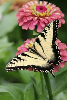 BEAUTIFUL BLACK AND YELLOW BUTTERFLY!!!