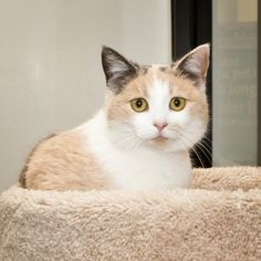 Felicia is an adoptable Calico Cat in Nashville, TN.  I am a very laid-back kitty who is looking for a nice quiet new home. I may be just a little shy at first, but I turn into a big love bug when I g...