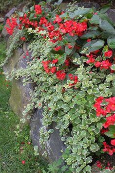 Swedish Ivy and Dragon Wing Begonia