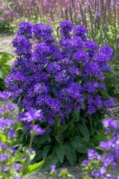 (Clustered Bellflower) Retail introduction by Plants Nouveau USDA zones Oh, Wow. Shade Flowers, Lavender Flowers, Types Of Flowers, Fresh Flowers, Colorful Flowers, Purple Flowers, Beautiful Flowers, Garden Trees, Trees To Plant