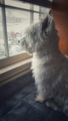 Westie on guard duty