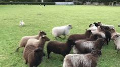 Think I might need a new sheep dog