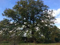 La quercia centenaria del Cerreto, ancora maestosa dopo centinaia di anni.... Sarà il miracolo dell'apparizione?