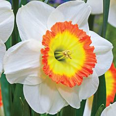 """Roulette Daffodil Bloom Time: Mid Spring Size: 14-16cm Bulb Zones: 3 to 8 Height: 16-18"""" - See more at: http://www.brecks.com/product/Roulette_Daffodil/Daffodil_Flower_Bulbs#sthash.CPfnzSiW.dpuf"""