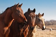 The Mare in the Middle - A tale from the  the Iowa 41 Morgan Horse Rescue.