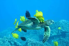 Sea Turtle off the Ivory Coast, West Africa.