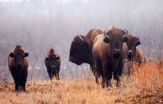 "March 2013 Finalist - George Gootee ""Bison in the Mist"""