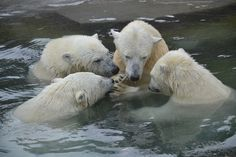Polar Bears - huddling up to discuss the world's problems!