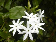 Jasmine is a popular flower known for its immense fragrance & ornamental purpose. This article lists out the most beautiful jasmine flowers found all around the world Flowers Nature, Exotic Flowers, White Flowers, Beautiful Flowers, Indian Flowers, Gardenias, Jasmine Ground Cover, Plante Jasmin, Arabian Jasmine