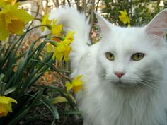 Stunning White Maine Coon - Maine Coon - Wikipedia, the free encyclopedia