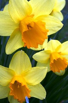 Sunshine yellow daffodils.  My favorite flower.  Always makes me think Spring!