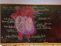 Physiology: The Heart, Blood, and Circulation