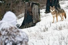 Coyote Calling Tips: The 4 Types of Calls You Need to Know Quail Hunting, Deer Hunting Tips, Big Game Hunting, Coyote Hunting, Hunting Guns, Archery Hunting, Bow Hunting, Hunting Stuff, Hunting Season