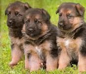 German shepards :)