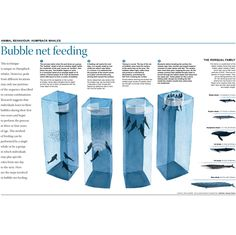 Infographic including a diagram of bubble net feeding technique