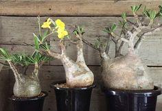 塊根植物とソファの出会い「へんてこ植物を、愛でる暮らし。」開催