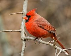 Northern Cardinal *Photography by Heather Ingraham