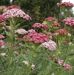 Achillea, Rose Madder. Looks great next to pink sedum with achillea flowering first in summer followed by sedum in autumn. Good for pollinators.