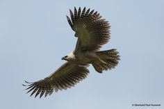Harpy eagle | Harpy Eagle photo: Immature flying. | the Internet Bird Collection