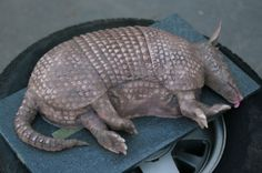 Armadillo Cake Tutorial. Looks just like the cake from that one crazy movie. I NEED this