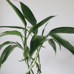 #melinaSouza  #serendipity   #bambudasorte #plants  #planta