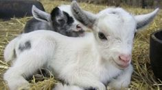 Baby pygmy goats change their vocal sounds depending on their social environments. oh animals <3