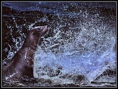 Animals in Rhenen, Netherlands (wishing smashing weekend water bassin sea lion splash) - a photo by Nico Andries
