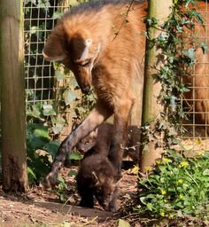Paignton Zoo's South American Maned Wolves are rearing a litter of three pups!
