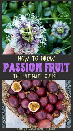 Read along to learn how to grow edible passion fruit vines - with instructions for both Passiflora edulis (purple passion fruit) or P. incarnata (maypops) - including their preferred climate, starting Growing Passion Fruit, Yellow Passion Fruit, Passion Fruit Plant, Growing Fruit Trees, Growing Plants, Growing Vegetables, Dwarf Fruit Trees, Fruit Plants, Fruit Garden