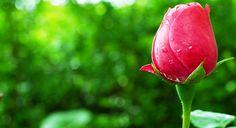 Gambar Bunga Mawar Merah Yang Kuncup
