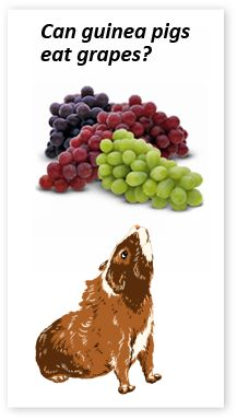 Can guinea pigs eat grapes?  Yes but as with all fruit be sure to feed sparingly as fruit is high in sugar which can cause digestion issues for your guinea pig if fed in excess.
