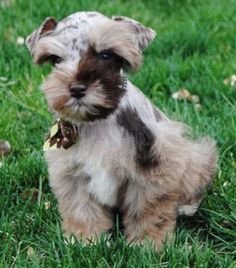 Miniature Schnauzer ~ Mega Coated Chocolate Merle --- LOVE LOVE LOVE The coloring - I want one!!!!