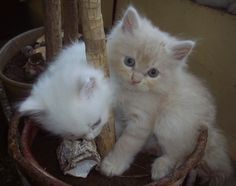Kitten Doll Face Persian Cats I love kittens! More pics like this on the website. Click the link