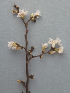 벚꽃(Cherry Blossom)