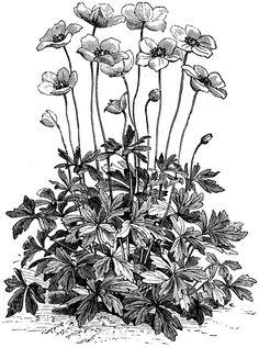 Anemone Sylvestris Flower