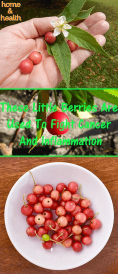 It's rich in cytotoxic flavonoids that successfully fight cancer. Not only that but its leaves and stems can prevent certain cancers.