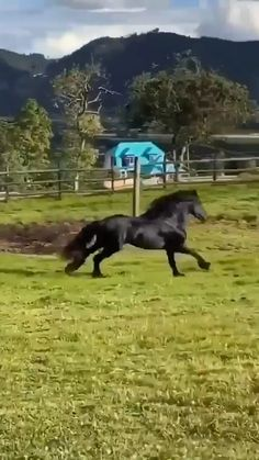Friesian horse videos - All about the Animals and pets is here Big Horses, Black Horses, Cute Horses, Horse Love, Black Stallion Horse, Gray Horse, Horses And Dogs, Funny Horse Videos, Funny Horses