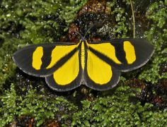 polilla amarilla y negra / yellow and black moth (Geometridae) | Flickr - Photo Sharing!