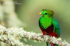 Resplendent Quetzal by Juan Carlos Vindas