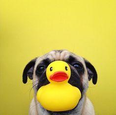 Duck face Pug