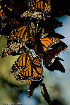 Monarch butterflies overwintering Pacific Grove, CA --- As a 1st grader I was in the Monarch Butterfly Parade :)