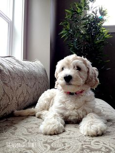 Meet Lily, the Australian Labradoodle and her brother Jack, a Goldendoodle! Cute Puppies, Cute Dogs, Dogs And Puppies, I Love Dogs, Puppy Love, Animal Pictures, Cute Pictures, Australian Labradoodle, Best Dogs
